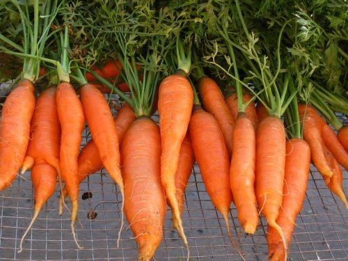 budidaya wortel organik