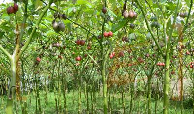 Kebun Terong Belanda